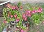 Apocynaceae - Adenium obesum