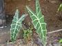 Araceae - Alocasia sanderiana