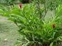 Zingiberaceae - Alpinia purpurata
