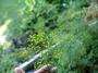 Apiaceae - Anethum graveolens
