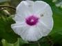 Convolvulaceae - Ipomoea batatas