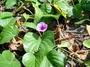 Convolvulaceae - Ipomoea pes-caprae subsp. brasiliensis