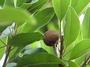 Sapotaceae - Manilkara zapota
