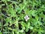 Plantaginaceae - Bacopa monnieri