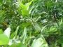 Calophyllaceae - Calophyllum inophyllum