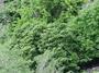 Apocynaceae - Cerbera manghas