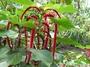 Euphorbiaceae - Acalypha hispida