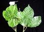 Sapindaceae - Allophylus timoriensis