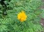 Asteraceae - Cosmos sulphureus