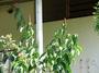 Costaceae - Costus woodsonii