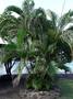 Arecaceae - Dypsis lutescens