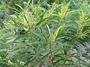 Fabaceae - Acacia spirorbis