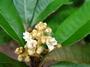 Rosaceae - Eriobotrya japonica