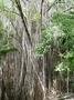 Moraceae - Ficus prolixa var. prolixa