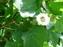 Malvaceae - Gossypium hirsutum var. taitense