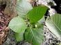Rubiaceae - Guettarda speciosa