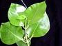 Rubiaceae - Kadua haupuensis
