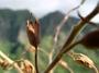 Solanaceae - Nicotiana fatuhivensis