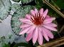 Nymphaeaceae - Nymphaea capensis
