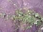 Malvaceae - Sidastrum paniculatum
