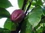 Sterculiaceae - Theobroma cacao 'Matina'
