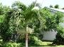 Arecaceae - Veitchia merrillii