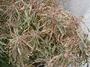 Euphorbiaceae - Acalypha godseffiana var. heterophylla