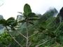 Primulaceae - Myrsine adamsonii