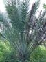 Arecaceae - Phoenix dactylifera