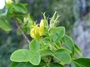 Oxalidaceae - Oxalis gagneorum