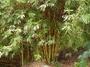 Poaceae - Bambusa vulgaris