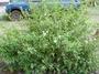 Acanthaceae - Barleria cristata
