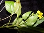 Asteraceae - Bidens uapensis