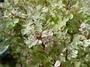 Phyllanthaceae - Breynia disticha 'Roseo-Picta'