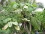 Moraceae - Broussonetia papyrifera