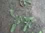 Euphorbiaceae - Euphorbia thymifolia