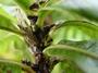 Rubiaceae - Coprosma esulcata