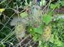 Cucurbitaceae - Cucumis metuliferus