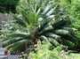 Cycadaceae - Cycas circinalis