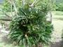 Cycadaceae - Cycas revoluta