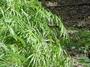 Cyperaceae - Cyperus involucratus