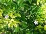 Verbenaceae - Duranta erecta