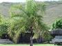 Arecaceae - Dypsis madagascariensis