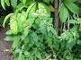 Euphorbiaceae - Euphorbia cyathophora