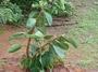 Moraceae - Ficus elastica