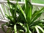 Asparagaceae - Furcraea foetida