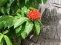 Rubiaceae - Ixora casei var. casei