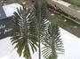 Crassulaceae - Kalanchoe tubiflora
