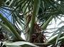 Arecaceae - Latania lontaroides