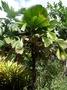Arecaceae - Licuala grandis